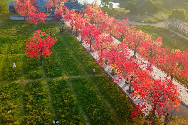 Ngắm hàng cây phong lá đỏ lãng mạn như trong phim Hàn tại Hà Nội - Ảnh 3.