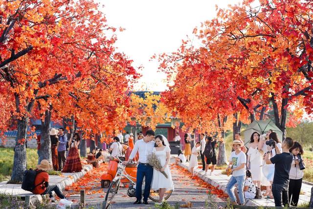 Ngắm hàng cây phong lá đỏ lãng mạn như trong phim Hàn tại Hà Nội - Ảnh 5.