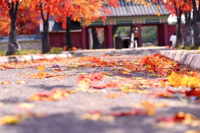Ngắm hàng cây phong lá đỏ lãng mạn như trong phim Hàn tại Hà Nội - Ảnh 4.