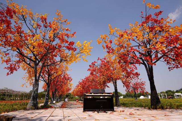 Ngắm hàng cây phong lá đỏ lãng mạn như trong phim Hàn tại Hà Nội - Ảnh 1.