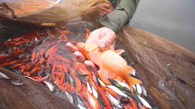 Thăm làng nuôi cá chép đỏ Thủy Trầm - Ảnh 2.