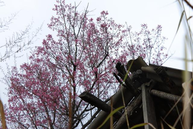 Rực rỡ sắc đào rừng ở vùng cao Mù Cang Chải - Ảnh 5.