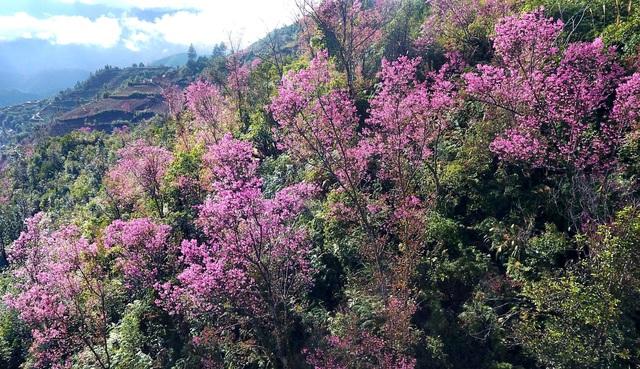 Rực rỡ sắc đào rừng ở vùng cao Mù Cang Chải - Ảnh 1.