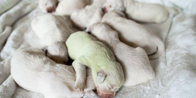 Độc lạ, chú chó lông xanh tự nhiên vừa chào đời tại Italy - ảnh 2