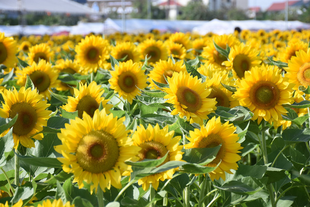 Vườn hướng dương 26.000 bông mở cửa miễn phí đón khách - Ảnh 13.