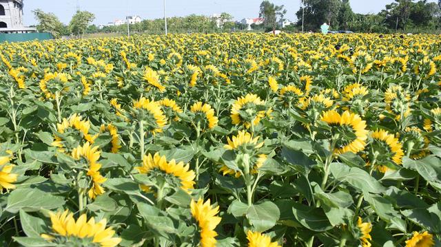 Vườn hướng dương 26.000 bông mở cửa miễn phí đón khách - Ảnh 12.