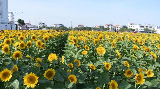 Vườn hướng dương 26.000 bông mở cửa miễn phí đón khách - Ảnh 4.