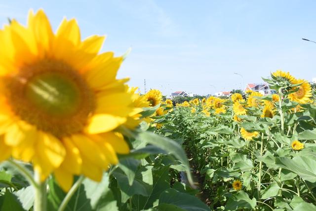 Vườn hướng dương 26.000 bông mở cửa miễn phí đón khách - Ảnh 6.