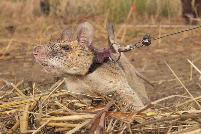 Chuyện thật như đùa, chú chuột được trao thưởng vì dẹp bom mìn - Ảnh 1.