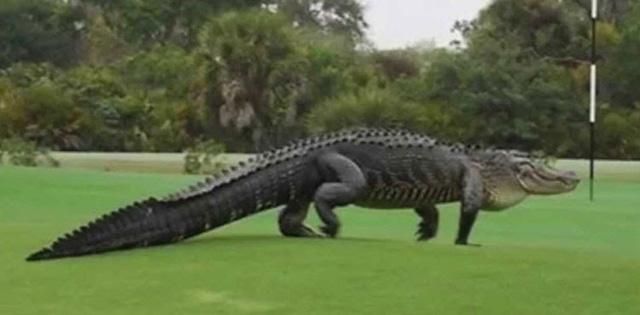"""Cá sấu khổng lồ dài 3m bất ngờ """"tập kích"""" sân golf - ảnh 1"""