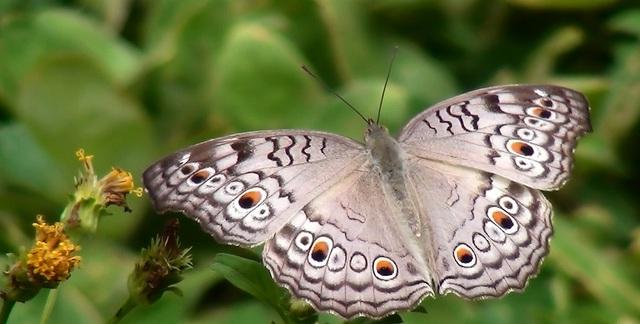 Sắc màu của bướm và những điều có thể bạn chưa biết - ảnh 1