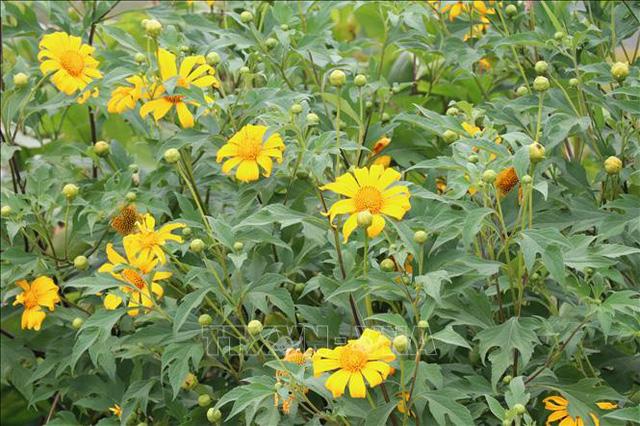 Quyến rũ mùa hoa dã quỳ trên núi lửa Chư Đăng Ya - Ảnh 1.