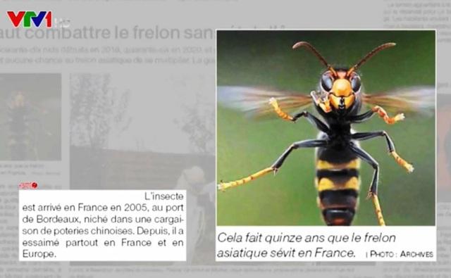 Châu Âu tuyên chiến với loài ong ngoại lai xâm lấn - Ảnh 1.