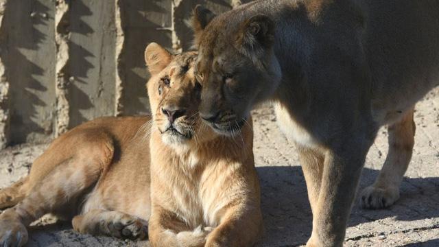 Sửng sốt, phát hiện 4 chú sư tử ở vườn bách thú nhiễm COVID-19 - ảnh 1