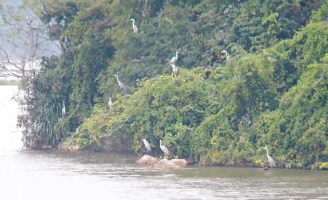 Chiêm ngưỡng cảnh tượng chim đậu trắng núi ở Tam Chúc - Ảnh 1.