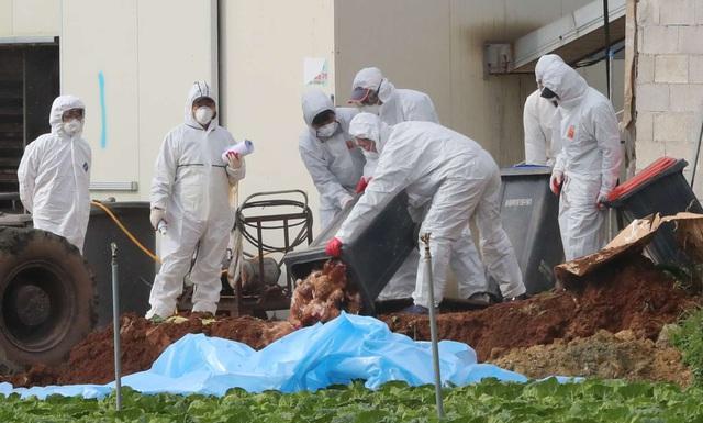 Xuất hiện chủng cúm gia cầm độc lực cao A/H5N8 - Ảnh 1.
