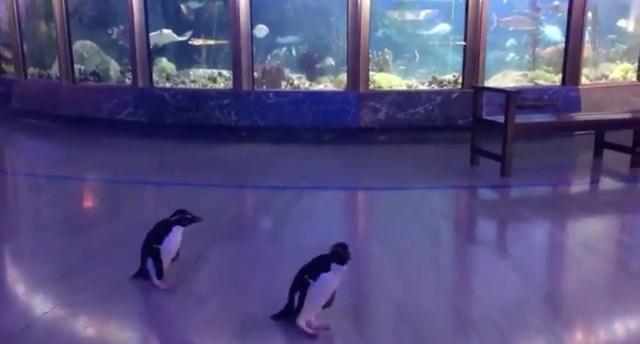 Đáng yêu những chú chim cánh cụt dạo chơi trong thủy cung - Ảnh 2.