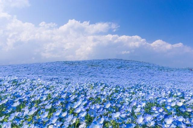 Gần 5 triệu bông hoa bung nở tại công viên Nhật Bản - Ảnh 1.