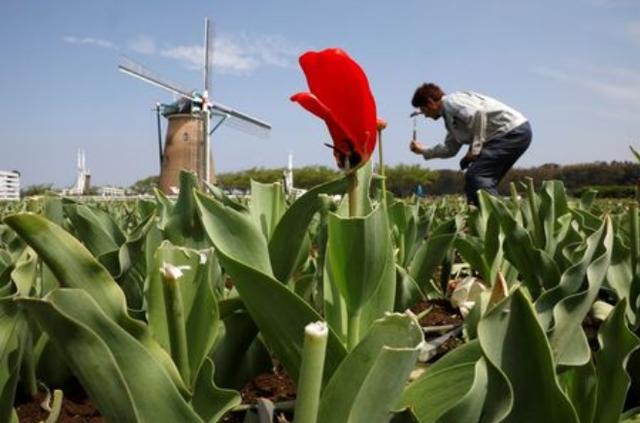 Nhật Bản cắt nhỏ 100.000 hoa tulip để tránh tụ tập ngắm hoa - Ảnh 1.