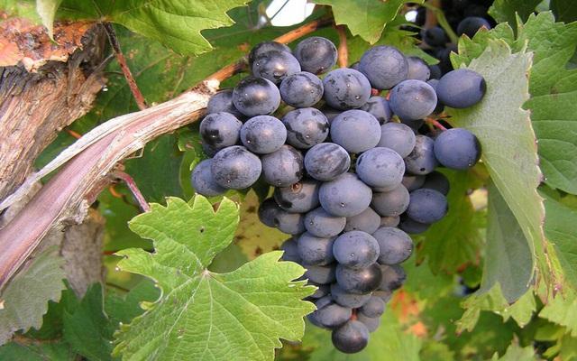 Những trái cây tốt cho sức khỏe và hệ miễn dịch giữa mùa dịch COVID-19 - Ảnh 3.