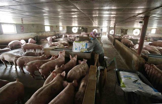 Giá lợn hơi cao kỷ lục, có tiền chưa chắc mua được - Ảnh 1.