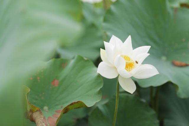 Sen trắng bung nở khoe sắc chào hè, đẹp tinh khôi - Ảnh 8.