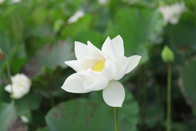 Sen trắng bung nở khoe sắc chào hè, đẹp tinh khôi - Ảnh 5.