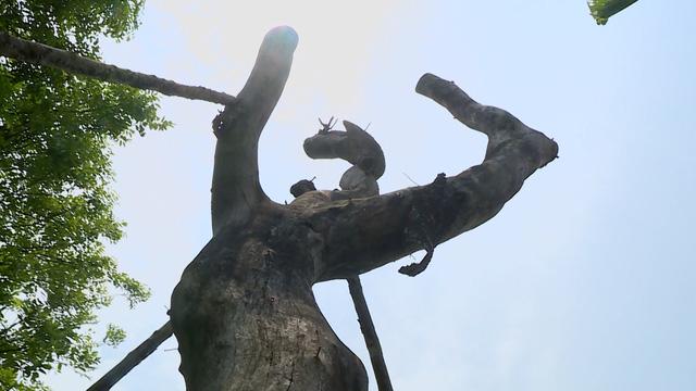 Số phận của hàng cây trên đường Kim Mã giờ ra sao? - Ảnh 1.