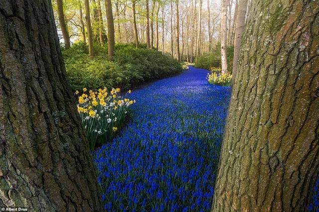 """""""Vườn hoa mùa xuân đẹp nhất thế giới nở rộ nhưng không có khách tham quan - Ảnh 8."""