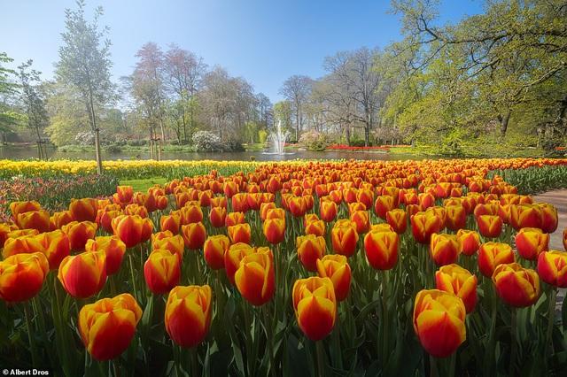 """""""Vườn hoa mùa xuân đẹp nhất thế giới nở rộ nhưng không có khách tham quan - Ảnh 2."""