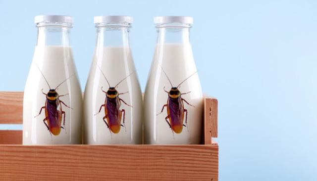 """Sữa gián được dự đoán sẽ trở thành siêu thực phẩm"""" trong tương lai - ảnh 1"""