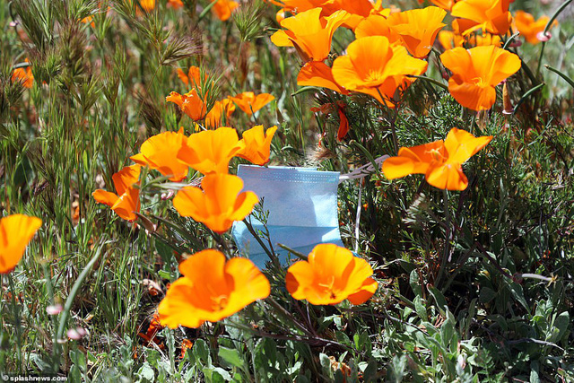 Hàng triệu bông hoa anh túc nở rộ bất chấp hạn hán lịch sử tại California (Mỹ) - ảnh 4