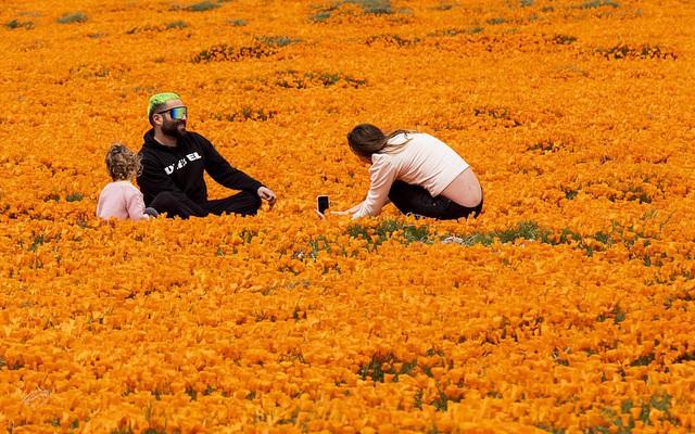 Hàng triệu bông hoa anh túc nở rộ bất chấp hạn hán lịch sử tại California (Mỹ) - ảnh 8