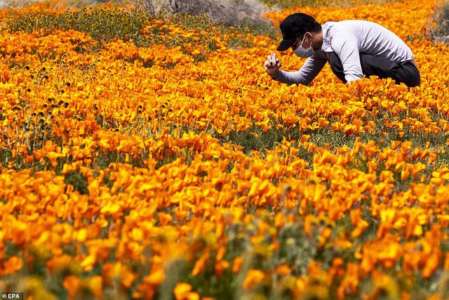 Hàng triệu bông hoa anh túc nở rộ bất chấp hạn hán lịch sử tại California (Mỹ) - ảnh 1