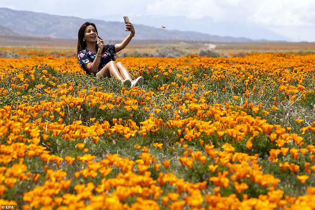 Hàng triệu bông hoa anh túc nở rộ bất chấp hạn hán lịch sử tại California (Mỹ) - ảnh 5