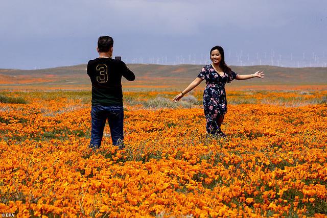 Hàng triệu bông hoa anh túc nở rộ bất chấp hạn hán lịch sử tại California (Mỹ) - ảnh 7