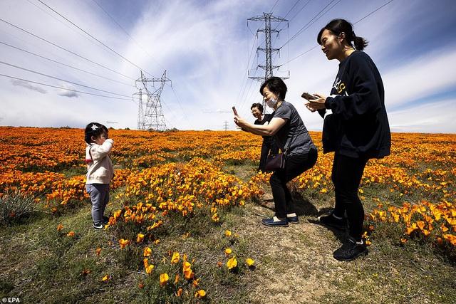 Hàng triệu bông hoa anh túc nở rộ bất chấp hạn hán lịch sử tại California (Mỹ) - ảnh 2