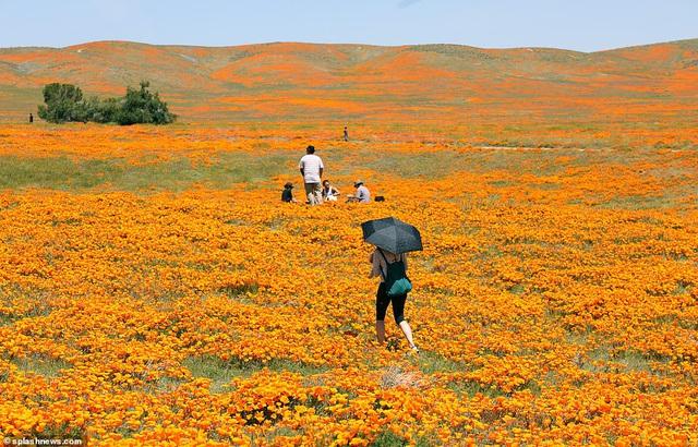 Hàng triệu bông hoa anh túc nở rộ bất chấp hạn hán lịch sử tại California (Mỹ) - ảnh 6