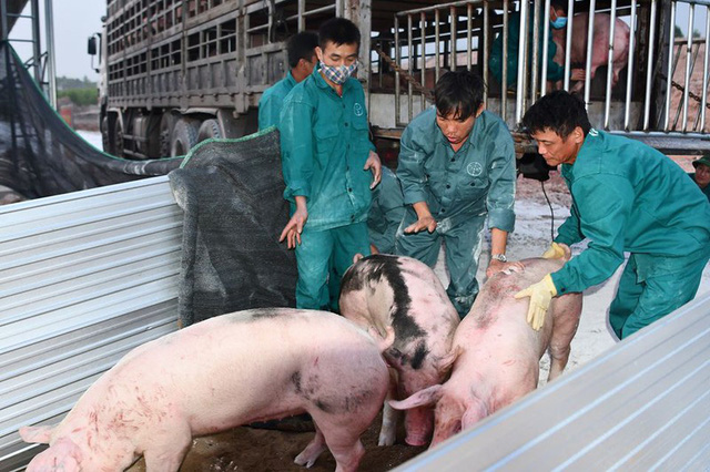 """Giá lợn trong nước tiếp tục hạ nhiệt sau nhiều ngày """"cố thủ"""""""