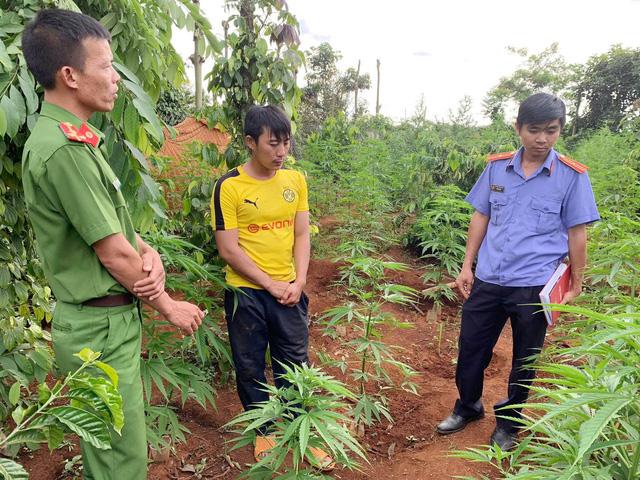 Liên tiếp phát hiện các vụ trồng cần sa, có nhà tới hơn 1.000 cây - Ảnh 2.