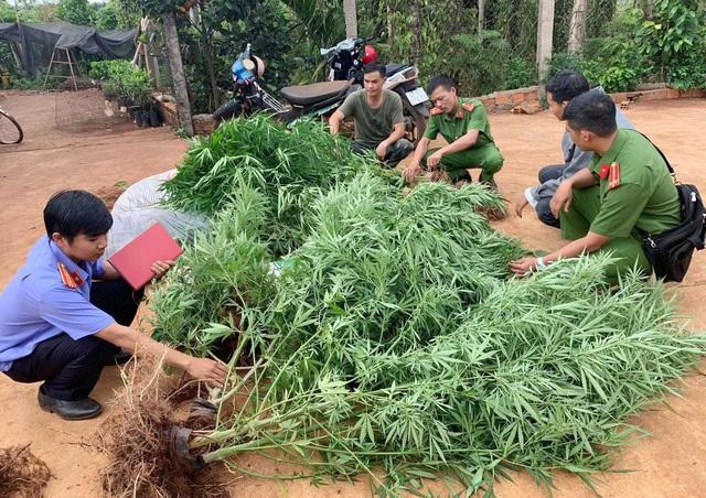Liên tiếp phát hiện các vụ trồng cần sa, có nhà tới hơn 1.000 cây - Ảnh 1.