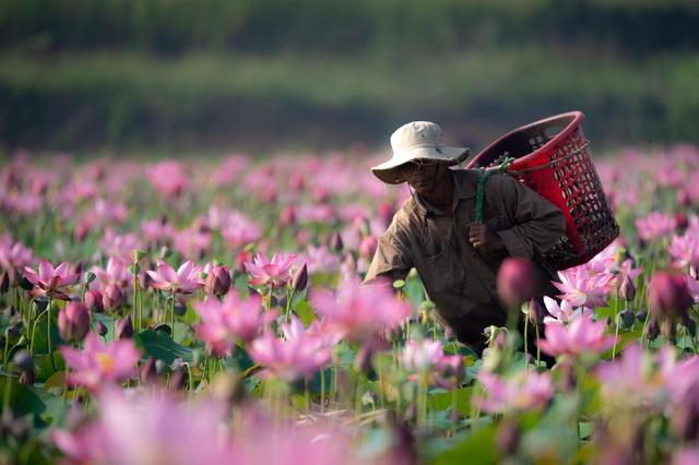 Đẹp mê mẩn hồ sen Điện An của Quảng Nam - Ảnh 4.