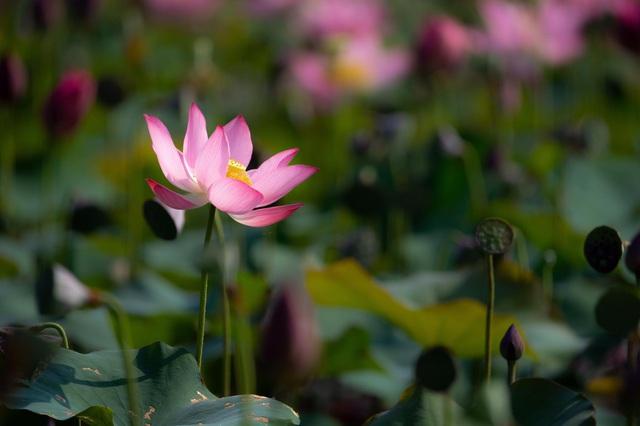 Đẹp mê mẩn hồ sen Điện An của Quảng Nam - Ảnh 3.