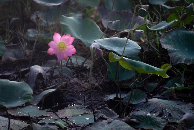 Đẹp mê mẩn hồ sen Điện An của Quảng Nam - Ảnh 2.