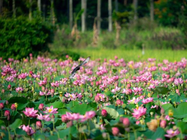 Đẹp mê mẩn hồ sen Điện An của Quảng Nam - Ảnh 1.