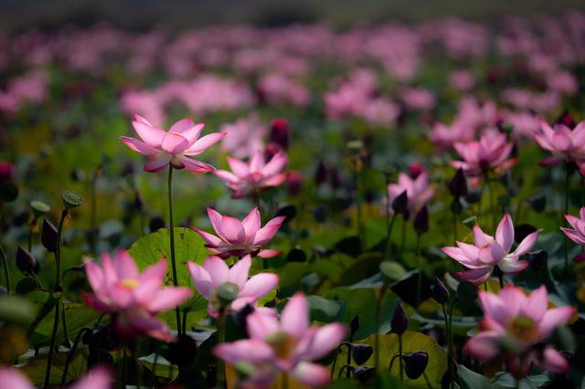 Đẹp mê mẩn hồ sen Điện An của Quảng Nam - Ảnh 16.