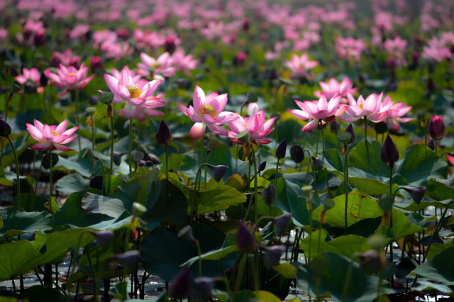 Đẹp mê mẩn hồ sen Điện An của Quảng Nam - Ảnh 15.