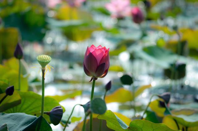 Đẹp mê mẩn hồ sen Điện An của Quảng Nam - Ảnh 14.