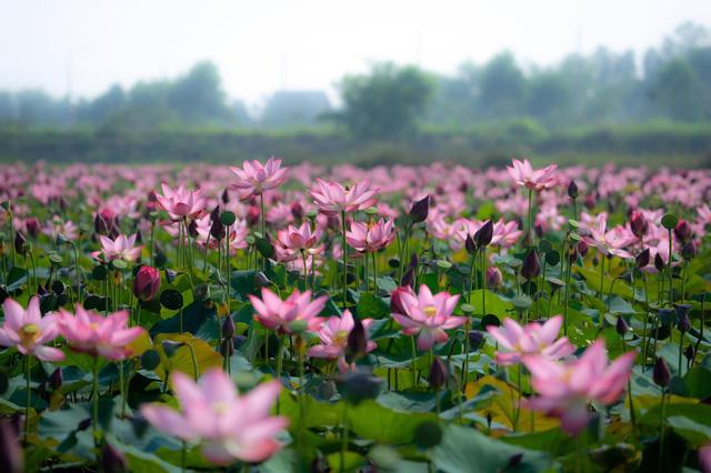 Đẹp mê mẩn hồ sen Điện An của Quảng Nam - Ảnh 9.