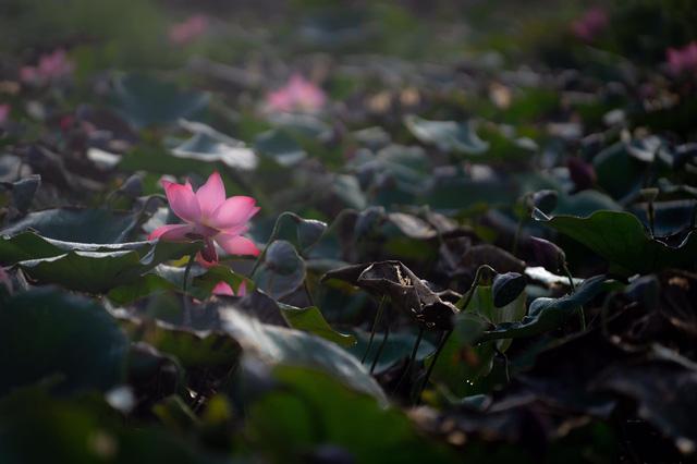 Đẹp mê mẩn hồ sen Điện An của Quảng Nam - Ảnh 8.